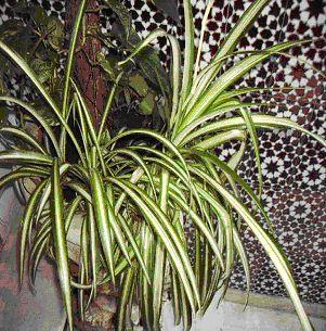 http://asignatura.us.es/abotcam/fotos/Chlorophytum_comosum.jpg
